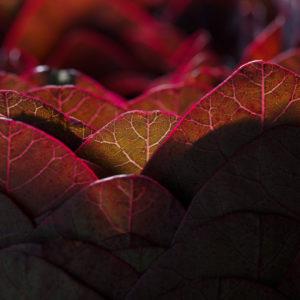 Het roodkleurige blad van de Cotinus heeft een duidelijke nervenstructuur die goed te zien is met tegenlicht. De felrode randen tekenen duidelijk af tegen de onscherpe ondergrond. Dit is een detail van een bladobject dat Ben Clevers, meester binder en arrangeur maakte. Het object is in een rode pot van Mobach gemaakt zo wordt het rode blad nog meer geaccentueerd.
