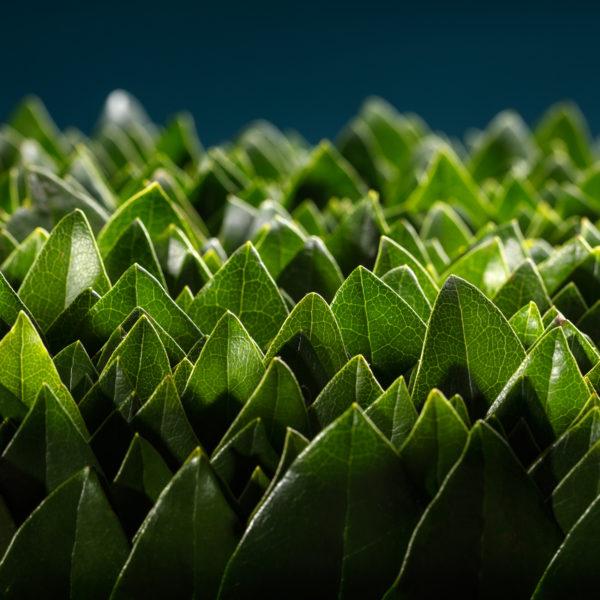 Haast ongeduldig staande bladeren van de Rhodondendron in het gelid. Het lijkt alsof ze staan te wachten op wat komen gaat. En ze zijn met velen. Het gladde van het blad en ook de mooie nervenstructuur komen duidelijk naar voren in dit beeld.