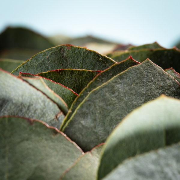 Het Eucalyptusblad heeft stiekem een klein rood randje om de bladeren. In het grote geheel valt dat wat weg maar in detail is dat goed te zien. Zo krijg je een kijkje tussen het Eucalyptusblad.
