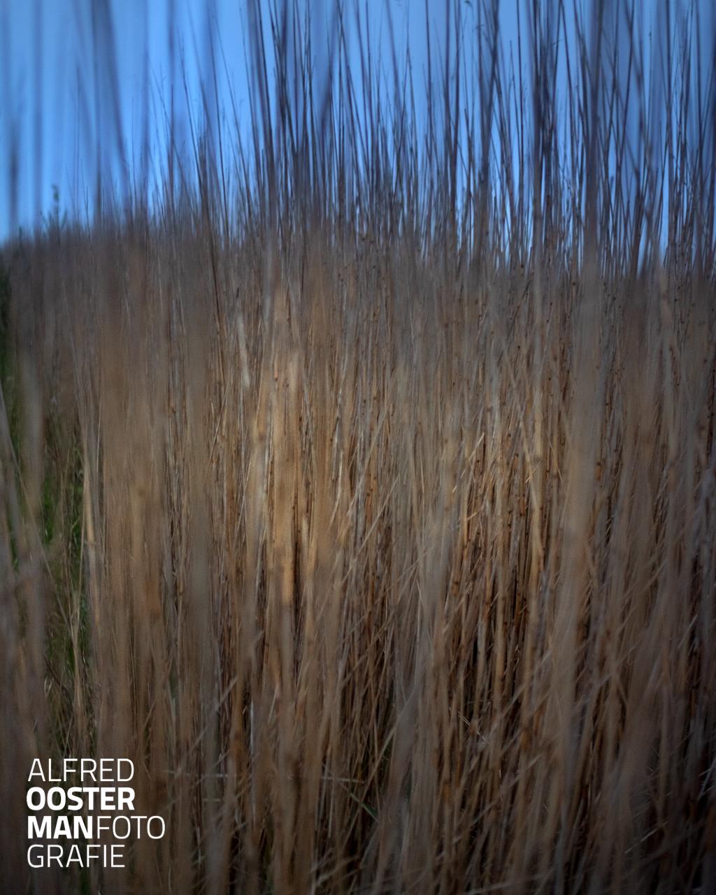 Ook 's morgens vroeg met weinig licht is het riet in de Onlanden de moeite waard om te zien. De wind duwt steeds tegen de stengels en het riet beweegt mee en keert weer terug. Een eindeloos spel tussen wind en riet.