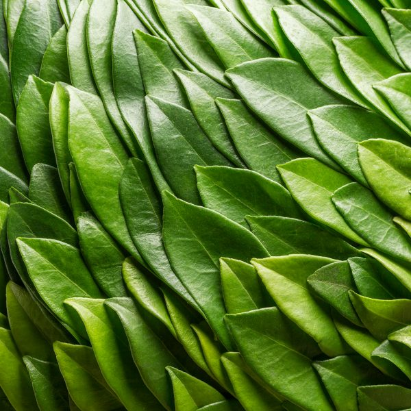 Ben Clevers, meester bloemblader en arrangeur heeft met het blad van de Skimmia een bolvormig bladobject gemaakt. Deze wat vettige bladeren geven een mooie glans waardoor de groenschakeringen op een hele chique manier naar voren komen.